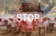 Общинската епизоотична комисия заседава заради усложнената обстановка с африканската чума по свинете
